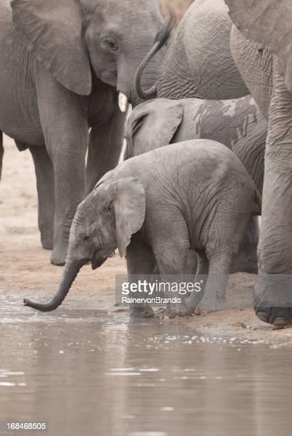 Bebé elefante beber