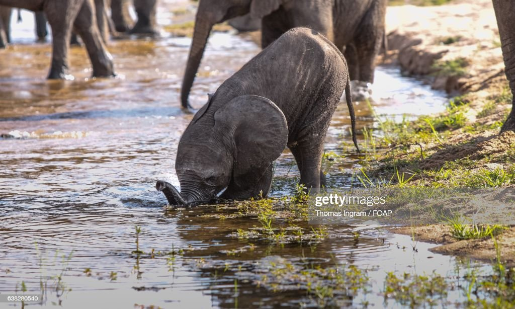 Baby Elephant Drinking Water High-Res Stock Photo - Getty Images