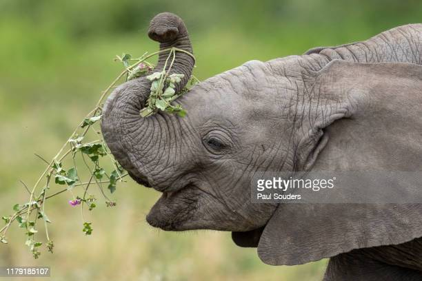 Baby Elephant Feeding, Ndutu Plains, Tanzania