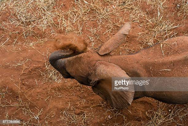 A baby elephant from the Elephant Orphanage Project strews sand on itself for sun protection at the Lilayi Elephant Nursery in Lusaka Zambia on 18...