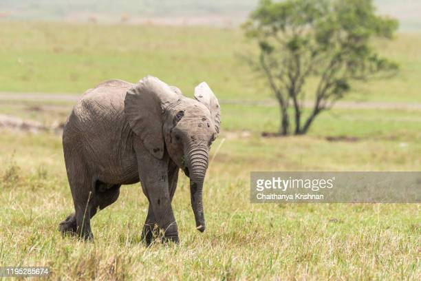 a baby elephant grazing in the plains of africa inside masai mara national reserve during a wildlife safari - big bums stock pictures, royalty-free photos & images