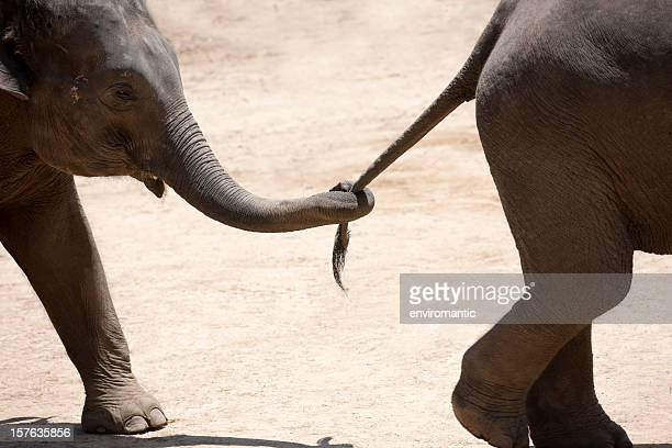 baby elephant holding the tail of another. - following stock pictures, royalty-free photos & images