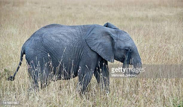 Baby Elephant in Masai Mara
