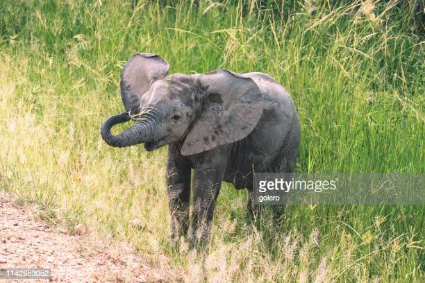 baby elephant in the grass - south luangwa national park stock pictures, royalty-free photos & images