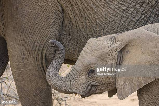 baby elephant mud coated - animal nose stock pictures, royalty-free photos & images