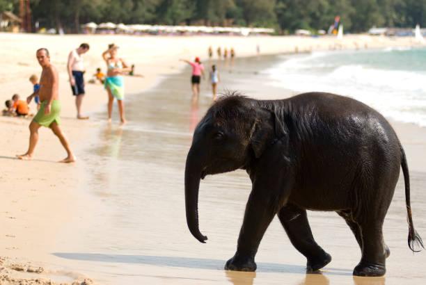 Baby elephant on beach at Ao Bang Thao.