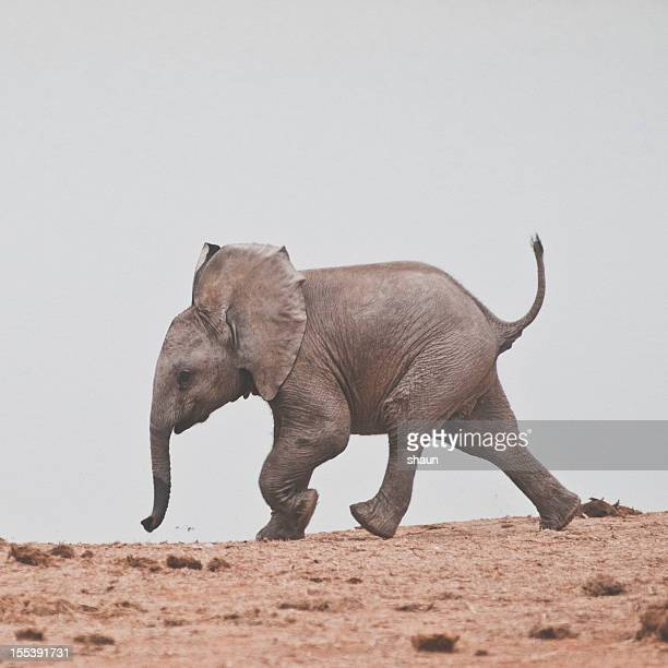 baby elephant - baby elephant stock photos and pictures