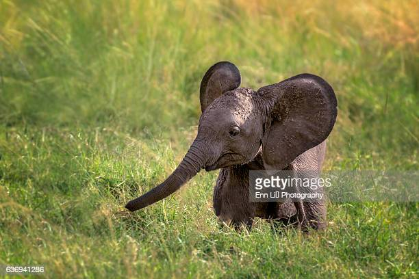 baby elephant - young animal stock pictures, royalty-free photos & images