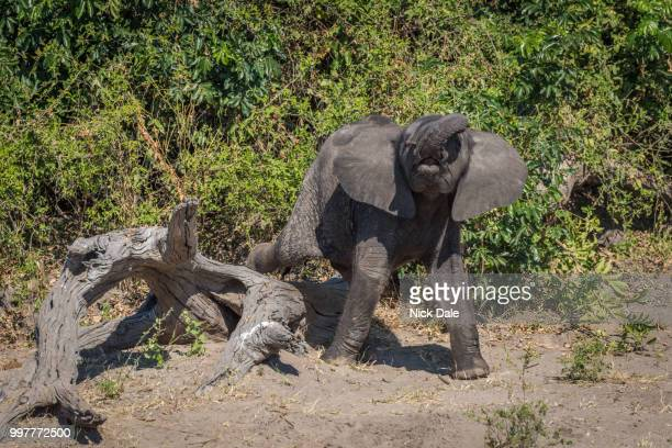 baby elephant stepping clumsily over dead log - dead baby ストックフォトと画像