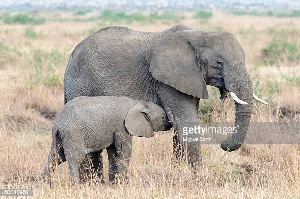 Baby elephant sucking of the big elephant mom
