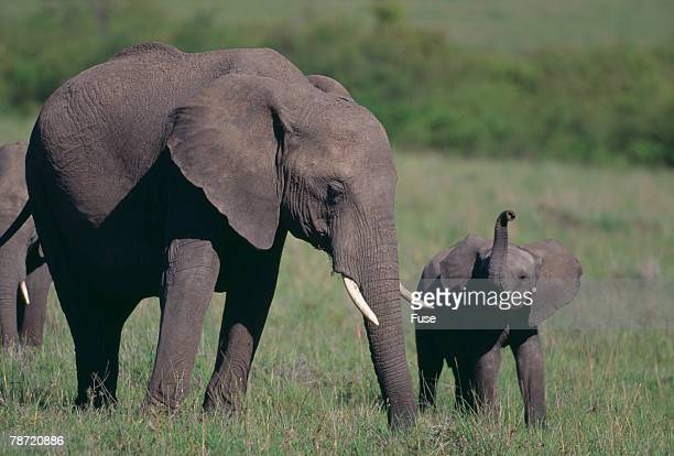 baby elephant trumpeting at mother - annonce grossesse photos et images de collection