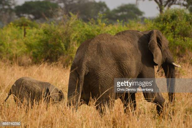 Baby Elephant Walking With Parent.
