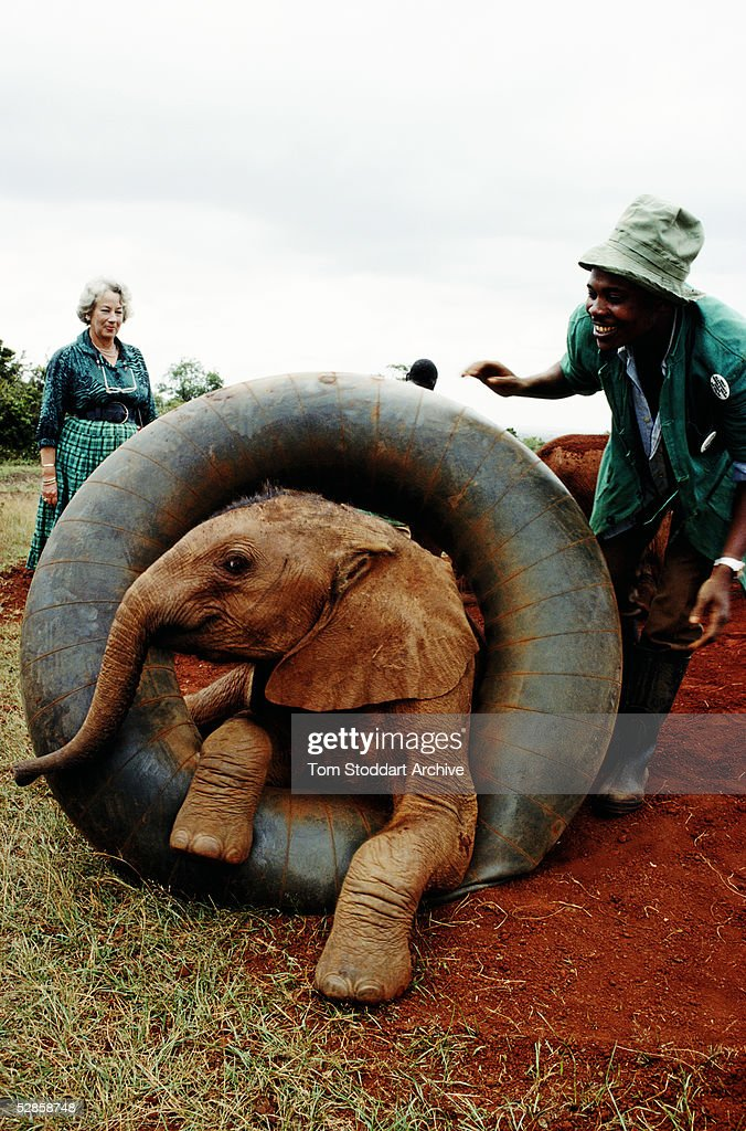 A baby elephant whose mother was killed by poachers photographed during playtime at Daphne Sheldrick's Sanctuary near Nairobi, Kenya. Sheldrick in background at left.