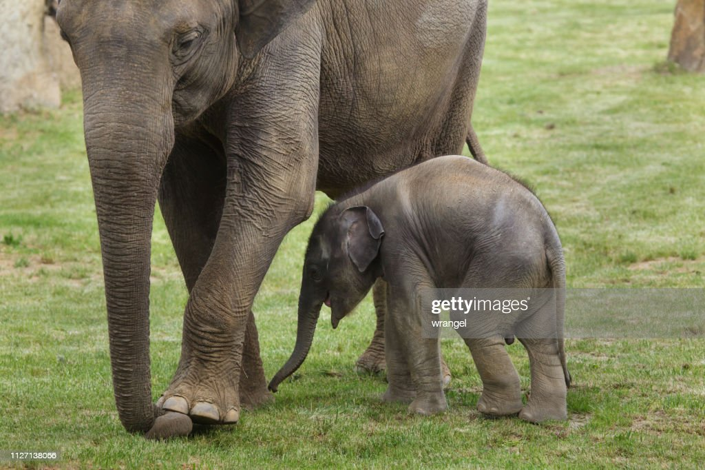 Baby elephant with his mother. : Stock Photo