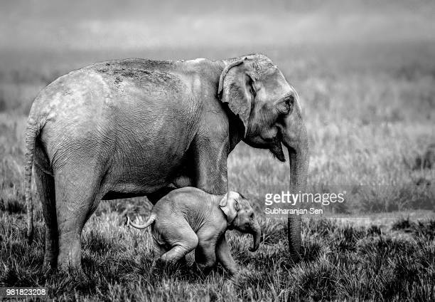 a baby elephant with it's mother at kaziranga national park in assam, india. - kaziranga national park stock pictures, royalty-free photos & images