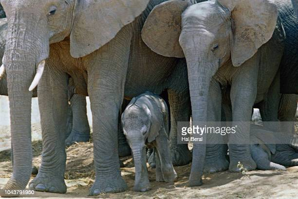baby elephants protected by the herd - tarangire national park stock pictures, royalty-free photos & images