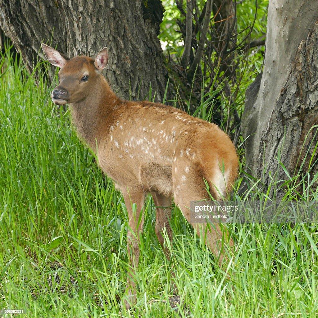 Baby elk in Colorado : Stock Photo