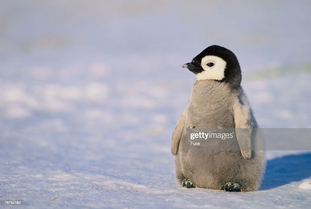 Baby Emperor Penguin : Stock Photo