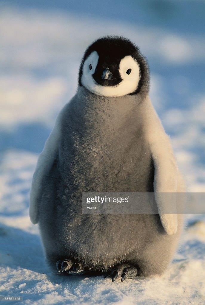 Baby Emperor Penguin : Stock Photo