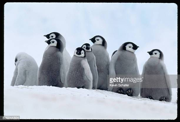 baby emperor penguins - baby penguin stock photos and pictures