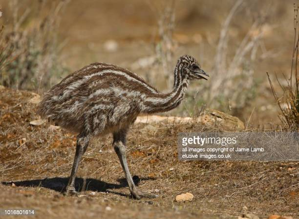 Baby Emu walking