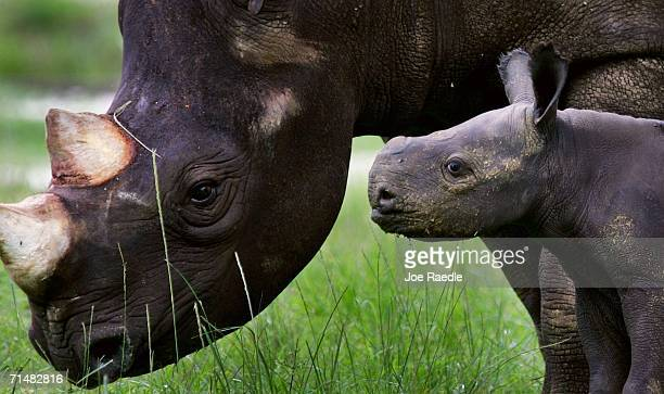 A baby endangered Black Rhinoceros stays close to her mother 6 1/2 year old 'Circe' as she makes her public debut July 19 2006 at the Metrozoo in...