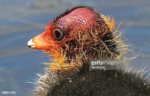 baby eurasian coot portrait - ugly kids stock photos and pictures
