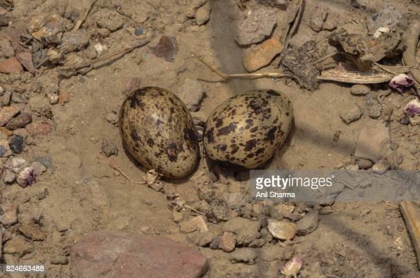 Baby Eurasian Stone Curlew (Burhinus oedicnemus)