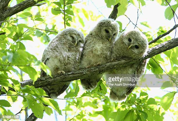 Baby Ezo ural owls are seen in a forest on June 6 2015 in Hokkaido Japan The owls will be fledged at the end of June