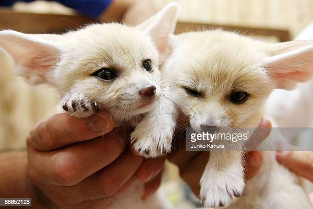 Baby Fennecs are seen at Sunshine International Aquarium on June 24 2009 in Tokyo Japan The small nocturnal fox babies were born on May 17 and opened...