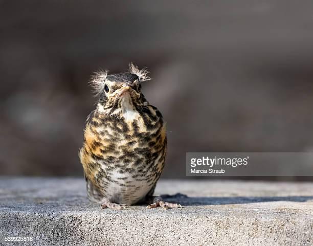 baby fledgeling robin - pettirosso foto e immagini stock