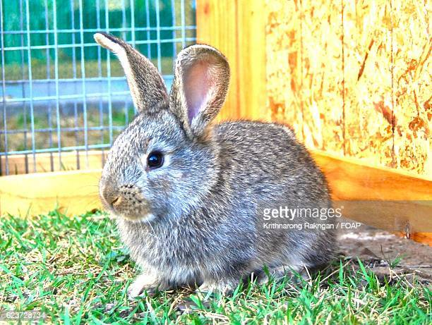 Baby Flemish giant rabbit in cage
