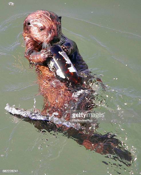 baby found a beer bottle - sea otter stock photos and pictures