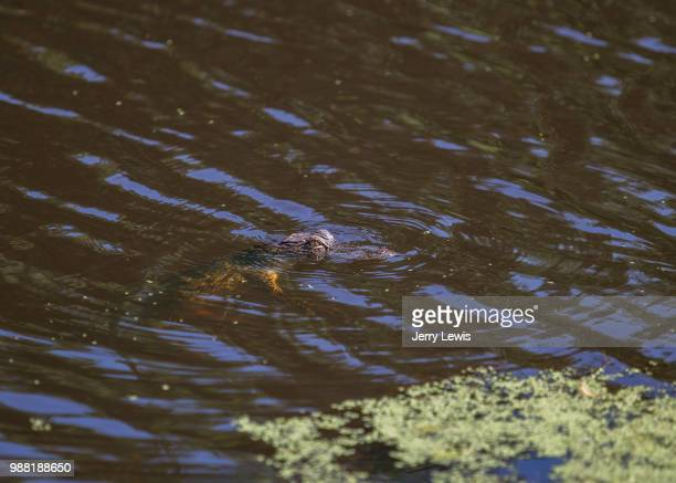 baby gator - duck billed platypus stock pictures, royalty-free photos & images