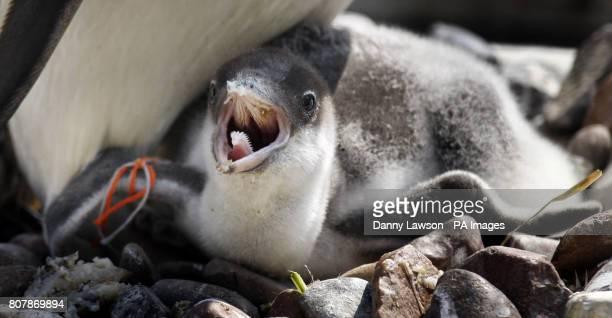 A baby Gentoo penguin chick at Edinburgh Zoo