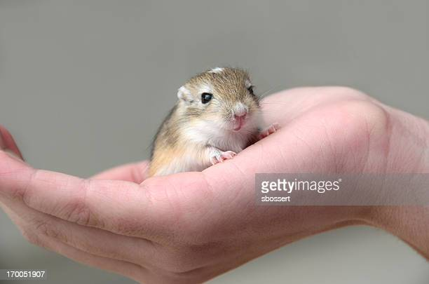baby gerbil in child's hand - gerbil stock pictures, royalty-free photos & images