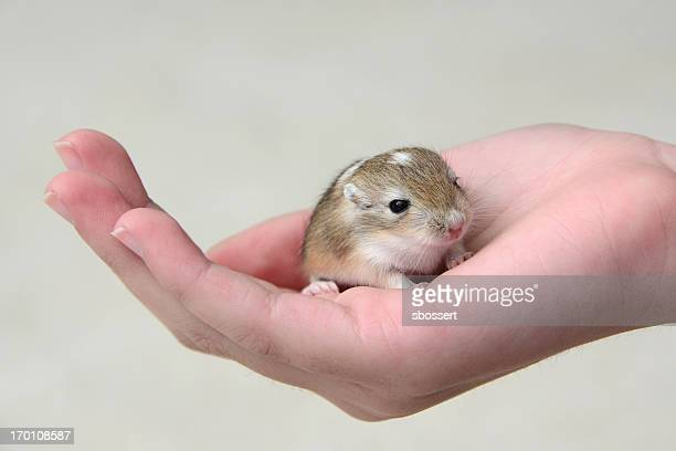 baby gerbil in child's hand - gerbil stock photos and pictures