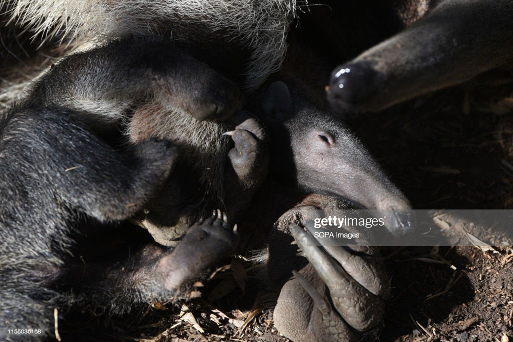 A baby Giant anteater is seen playing with its mother at... : News Photo