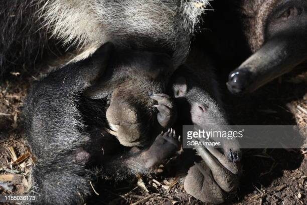 Baby Giant anteater is seen playing with its mother at Madrid zoo. A baby Giant anteater was born June 2019, after 190 days of gestation weighing...