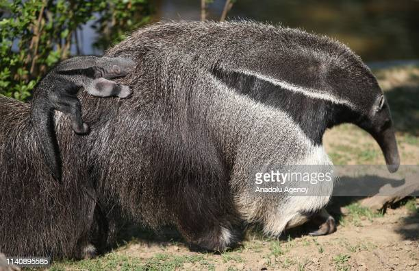 Baby giant anteater riding piggyback on its mother at the Bursa Zoo, in Bursa, Turkey on May 03, 2019.