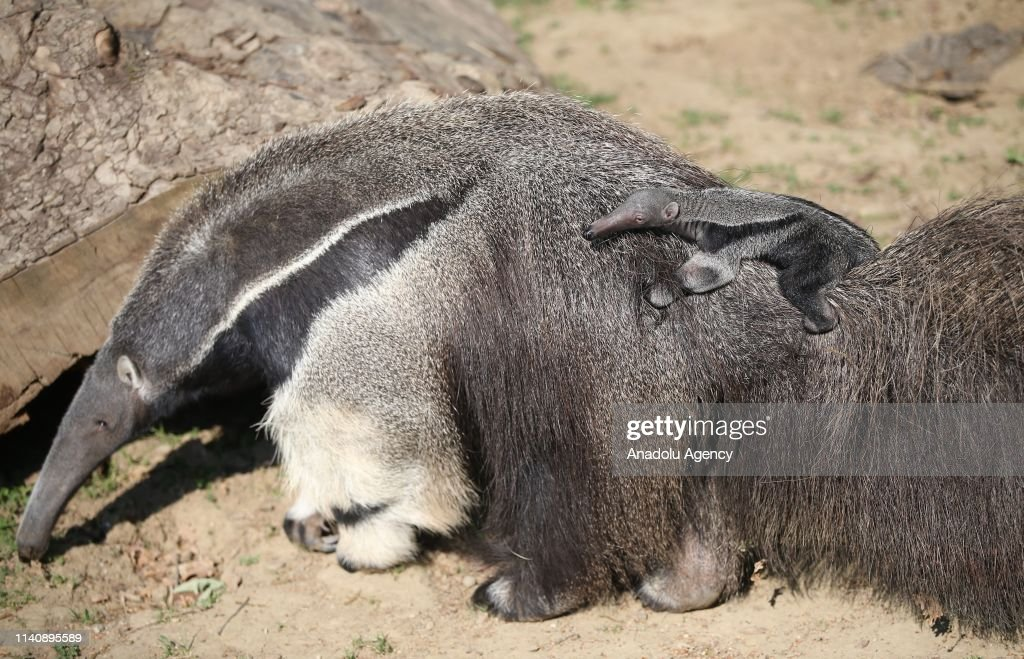 Newborn ring-tailed lemurs and giant anteaters at Bursa Zoo : News Photo