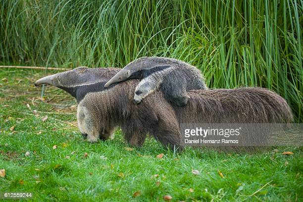 baby giant anteater with her mother. myrmecophaga tridactyla - anteater stock-fotos und bilder