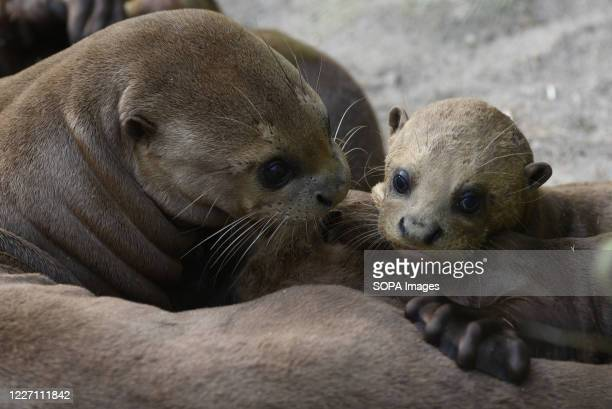 Baby Giant Otters seen with their mother in their enclosure at Madrid zoo. Five Giant otter babies , classified as critically endangered by IUCN,...
