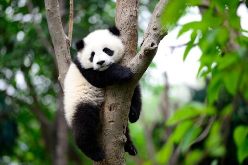 Baby giant panda on the tree 177841009