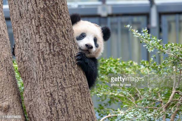 baby giant panda - panda stock pictures, royalty-free photos & images
