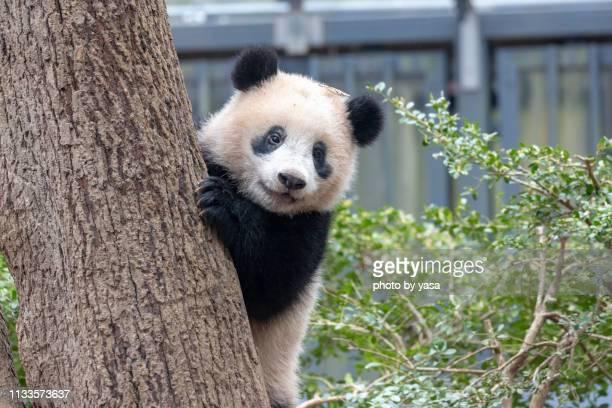 baby giant panda - パンダ ストックフォトと画像
