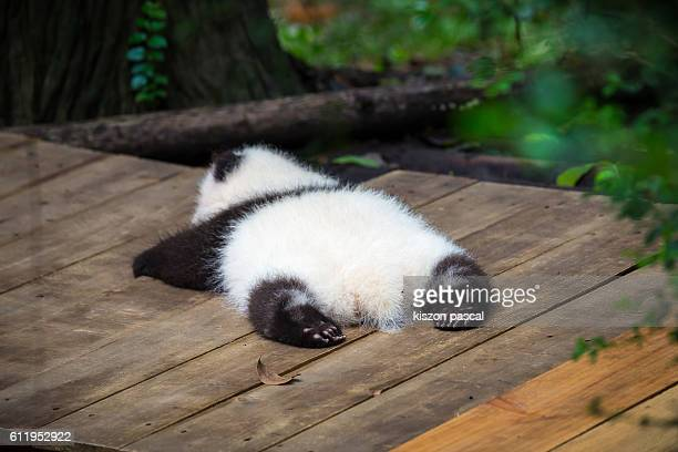 baby giant panda sleeping on the ground ( chengdu , sichuan , china ) - panda animal stock photos and pictures