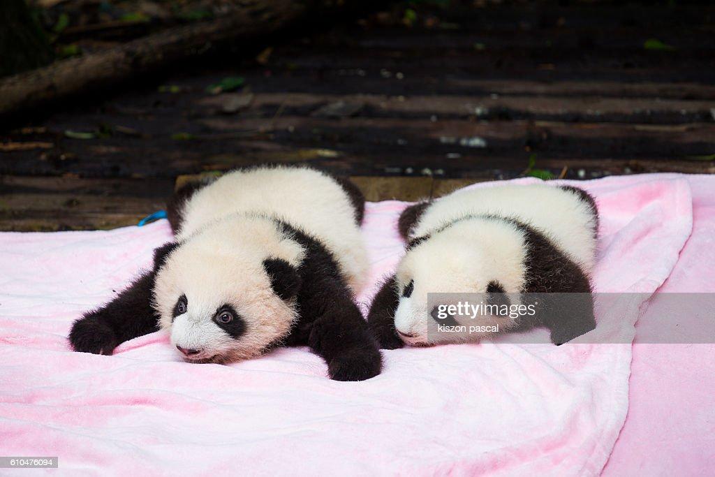 Baby giant pandas : Stock Photo