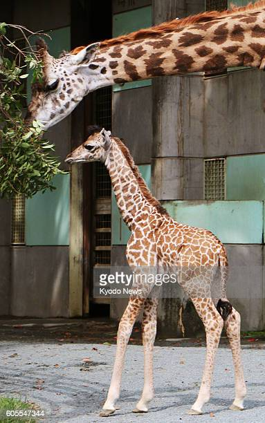 A baby giraffe and his mother are shown to the press in the southwestern Japan city of Kumamoto on Sept 14 2016 by the Kumamoto City Zoological and...