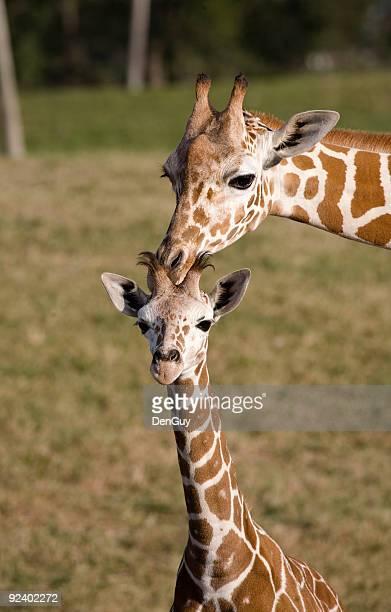 ベビージラフと母 - 動物の親子 ストックフォトと画像